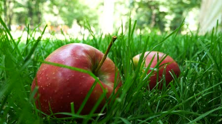 mezőgazdasági : Red Ripe Juicy Apples Falling on Green Grass With Green Apples. Time to Harvest in the Fruit Garden Or Apple Orchard In the Autumn on a Sunny Day