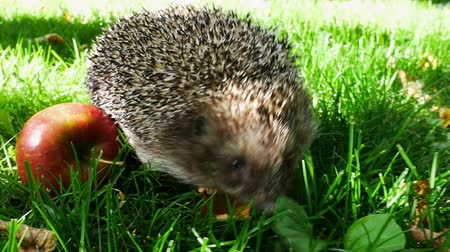 erinaceidae : Hedgehog With Juicy Red Ripe Apple Goes or Crawls in Green Grass. Happy Cute Hand Pet Hedgehog on Sunny Day