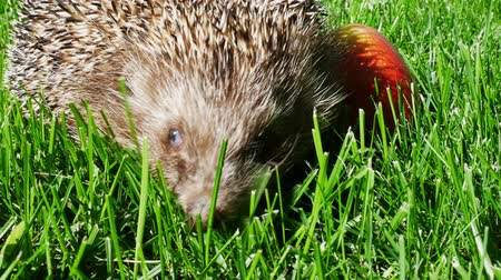 erinaceidae : Hedgehog in Green Grass With Juicy Red Ripe Apple Goes or Crawls. Happy Cute Hand Pet Hedgehog on Sunny Day in Autumn Stock Footage
