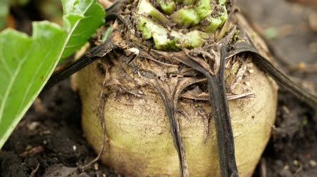 farmers : Fresh sugar beets on the field farm