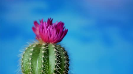 elektro : Green cactus with sharp needles and pink purple flower spins on blue background. Concept of cactus protection from electro-radiation in office on workplace with PC or laptop Stok Video