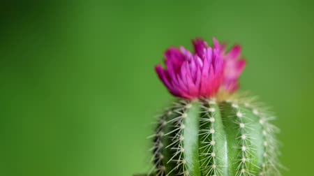 nedvdús : Green cactus with sharp needles and pink purple flower spins on green background. Concept of cactus protection from electro-radiation in office on workplace with PC or laptop