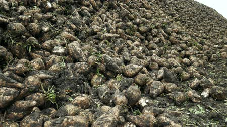 pancar : Pile of roots beets used for sugar production Stok Video