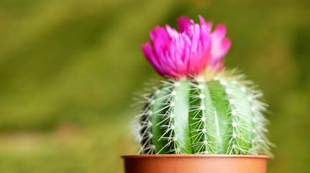 nedvdús : Green cactus with sharp needles and pink purple flower spins on yellow green background. The concept for the final screen saver video Stock mozgókép