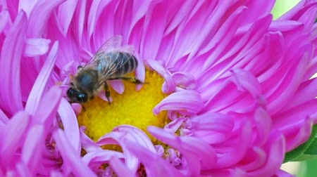 michaelmas daisy : Honey Bee collecting pollen on pink michaelmas daisy or aster flower against green background
