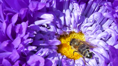 michaelmas daisy : Honey Bee collecting pollen on purple or violet michaelmas daisy or aster flower Stock Footage