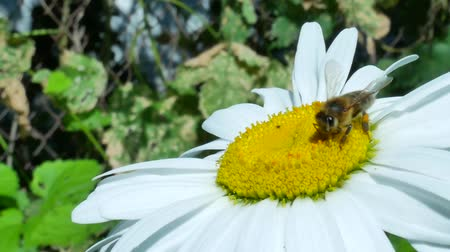 pólen : Honeybee on chamomile flower. European or western bee sitting and collecting pollen