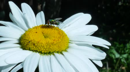 carrion : Green eyed fly or bottle fly insect sitting on chamomile flower