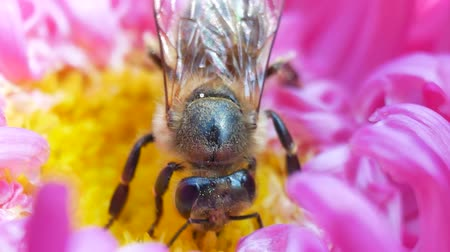 michaelmas daisy : Western honey bee gathering nectar and spreading pollen on on pink michaelmas daisy or aster flower