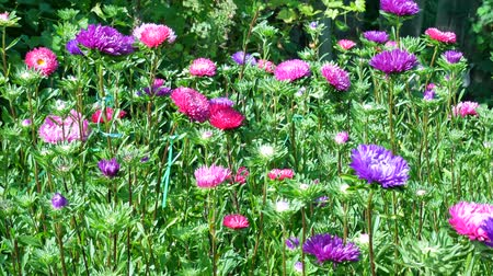 michaelmas daisy : Violet and pink asters blooming in the garden Stock Footage