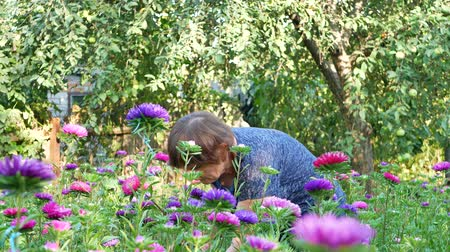 secateur : Florist woman is pruning violet and pink asters in garden with shears Stock Footage
