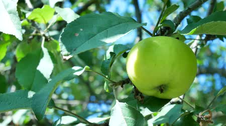 appelboom : Appels hangen op een tak in de tuin Stockvideo