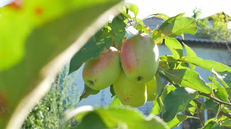 reddish : Ruddy apples hang on a branch in the garden