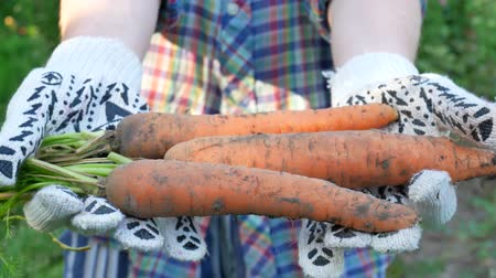 sklizené : Farmer hands holding harvested ripe carrots. Concept of autumn harvest in vegetable garden in nature Dostupné videozáznamy