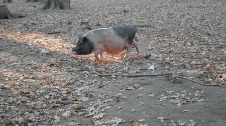 porquinho : Pig on pasture in forest Stock Footage