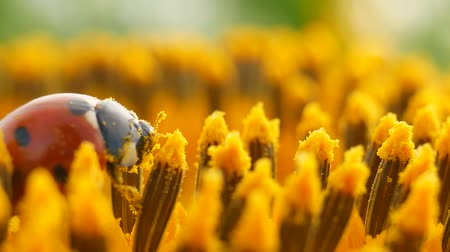yay : Red ladybug with pollen on yellow sunflower on sun Stok Video