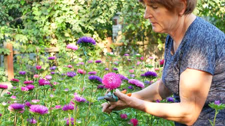 sedum : Florist woman is pruning violet and pink asters in garden with shears Stock Footage