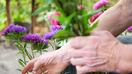 ostříhané : Florist making bouquet with purple or violet, pink michaelmas daisy or aster flower on table for flower shop outdoor