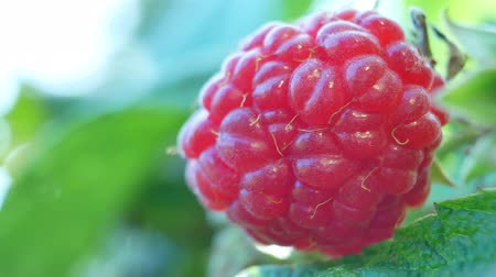 lamponi : Gathering of ripe raspberry on the farm or garden. Collect berries from a bush of raspberries. Concept of autumn harvest