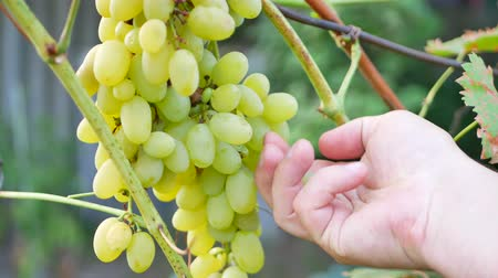 barril : The farmers hand cuts the rump of ripe white grapes Stock Footage