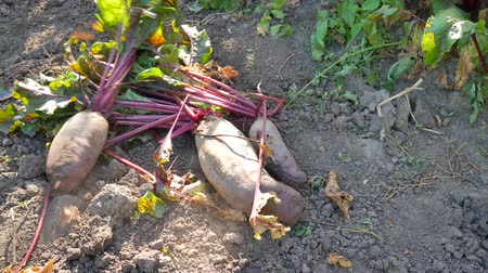 kabarık : Large red beetroot with beautiful green leaves in a vegetable garden Stok Video