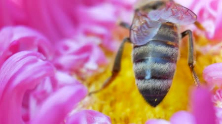 beporzás : Honey Bee collecting pollen on pink michaelmas daisy or aster flower against green background