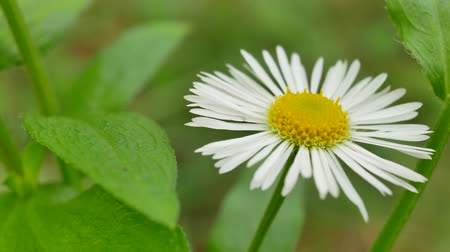 첫날 : White flower chamomile swaying at wind against background of green grass at summer day