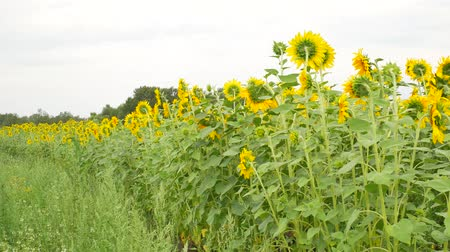 Agriculture field with sunflowers at summer Stok Video