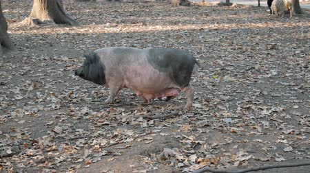 Pig on pasture in forest Stock Footage