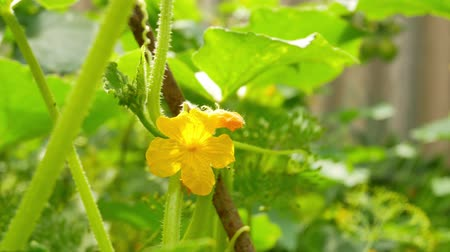 Yellow female flower of cucumber in field plant. Tiny cucumber ovary and yellow flower in the vegetable garden. Blooming ovary of young fresh organic vegetable, growing cucumbers on the field