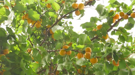 Apricot Tree with fruits in Summer
