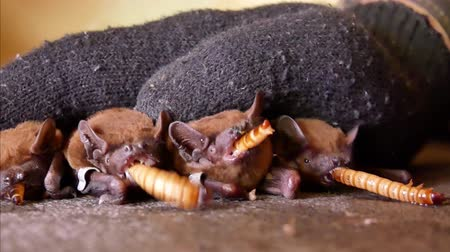 hibernation : Bats eat worms after winter hibernation. A zoologist in black gloves feeds flittermouse with handkerchiefs Stock Footage