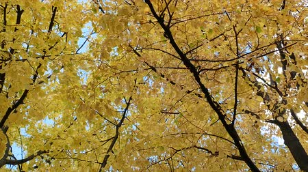 setembro : Autumn tree leaves sky background. Golden autumn scene in a park, with falling leaves