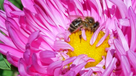 polinização : Honey Bee collecting pollen on pink michaelmas daisy or aster flower against green background