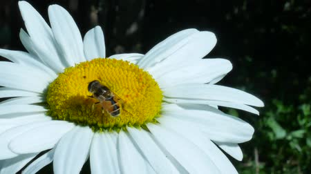 espécime : Green eyed fly or bottle fly insect sitting on chamomile flower