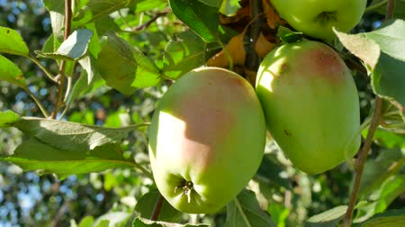ruddy : Ruddy apples hang on a branch in the garden