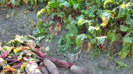 pancar : Large red beetroot with beautiful green leaves in a vegetable garden Stok Video