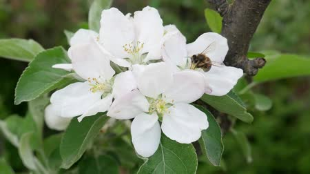 nemes kócsag : Bee collects nectar on the blossom apple tree flower on green background in spring