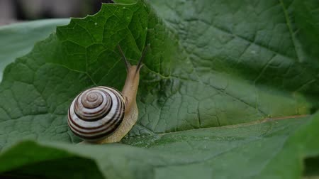 balçık : Garden snail crawls on green leaf in nature Stok Video