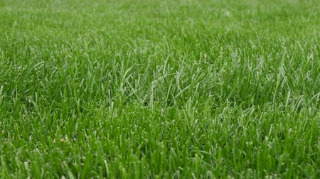 doğa arka plan : Beautiful green grass. Lawn natural for background