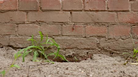 taş duvar : Old dirty surface of red brick wall and green grass, sand and soil as texture or background Stok Video