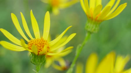 compositae : Senecio jacobaea yellow flowers is common wild flower in family Asteraceae in Field