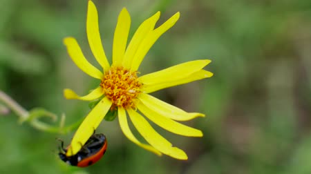 compositae : Ladybird Runs on Senecio jacobaea yellow flowers is common wild flower in family Asteraceae in Field Stock Footage