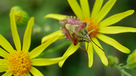 compositae : Green red beetle or bug sits on Senecio jacobaea yellow flowers is common wild flower in family Asteraceae in Field