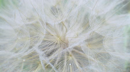 zingeving : Fluffy delicate dandelion seeds on green background in field. Alergy concept Stockvideo
