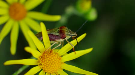 compositae : Red green bug or beetle sits on Senecio jacobaea yellow flowers is common wild flower in family Asteraceae in Field on green background