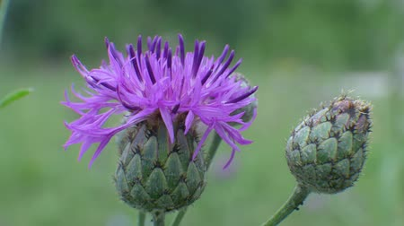 cardo : Carduus crispus, curly plumeless thistle or welted thistle blossom on green background