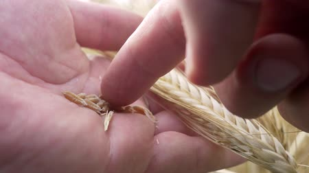 granger : Farm worker hands check for ripeness or disease spikelets or rye on farm field. Growth nature harvest or natural product concept