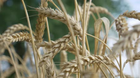 granger : Agricultural Rural Ripe Wheat Field Before Harvesting Stock Footage
