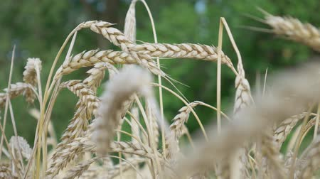 granger : Yellow spikelets of wheat on field at green trees background in sunlight. Ears of wheat grow in farm field. Wheat crop or harvest time concept Stock Footage